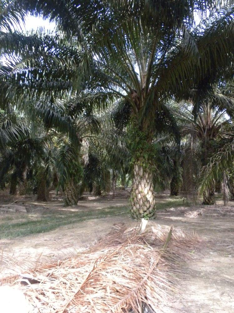 A mature oil palm plantation in Malaysia